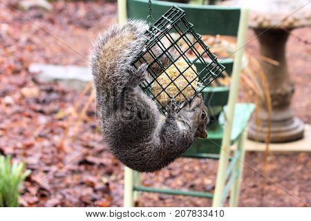 Hungry gray squirrel feeding on a suet block reserved for wild birds