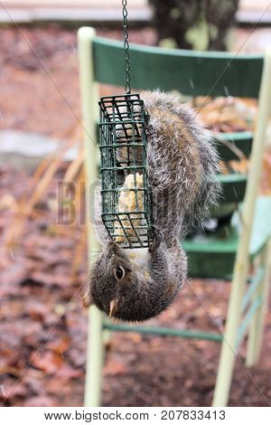 Hungry gray squirrel feeding on a suet block reserved for wild birds.