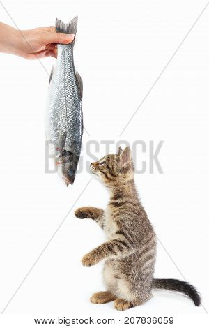 Tabby kitten looking at labrax fish which gives it a female hand on a white background