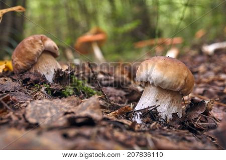 Two Brown Mushroom, Lurid Bolete, In The Woods.