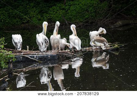 Group Great White Pelican Sits On A Log In The Lake