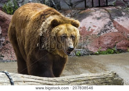 The Brown Bear Came Out Of The Cave