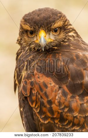 Close Up Upper Body Front View of Harris Hawk in Captivity, Falconry, Looking at Camera