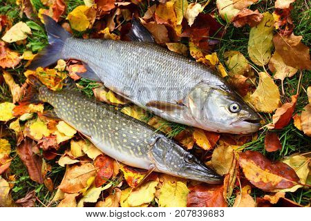 The Asp fish - Aspius Aspius and a Northern Pike - Esox Lucius. Fishing catch of predatory fishes on autumn leaves.