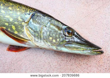 Head of Northern Pike - Esox Lucius. Fishing catch of predatory fish.