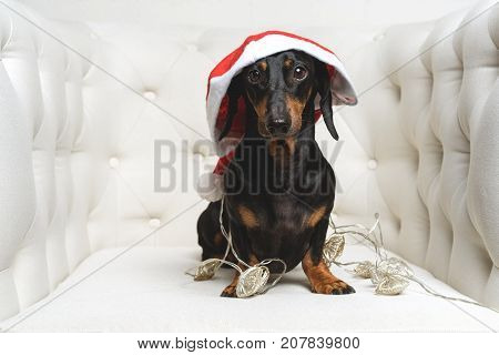 Cute dog (puppy) dachshund black and tan wearing Santa hat and wrapped in a New Year's garland ready for Christmas sits in a white armchair. toned