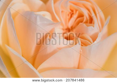 beautiful and relaxing rose close up macrophotography.