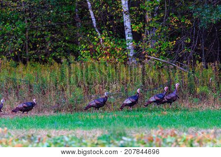 Male turkeys (Meleagris gallopavo) walking along a farmers field in October