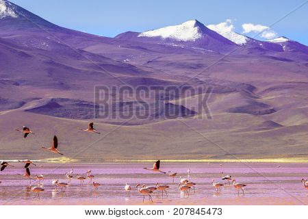 View on laguna Colorada with flaminfos in the Andes of Bolivia