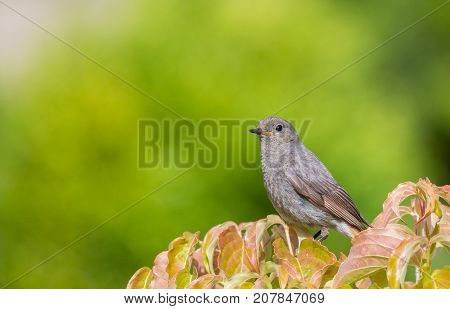 Juvenile Black Redstart(Phoenicurus ochruros) close-up against fuzzy green background, Bialowieza Forest, Poland, Europe