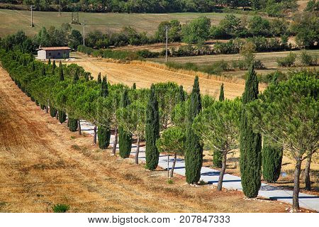 Pine and cypress trees rows and country road rural landscape, Tuscany, Italy.
