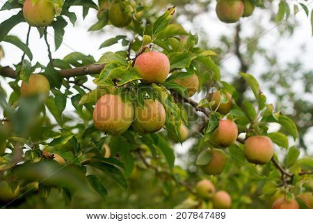 Ripe apples on the branches of a tree in the garden. Selective focus.