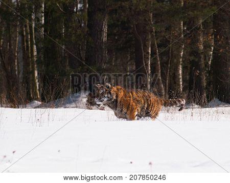 Siberian tiger in wild winter nature in taiga in Russia - Panthera tigris altaica