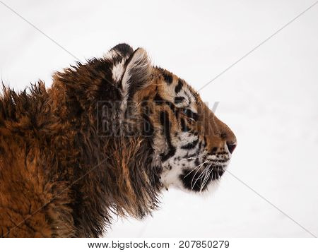 Detail of head of youg siberian tiger in winter - Panthera tigris altaica - endangered