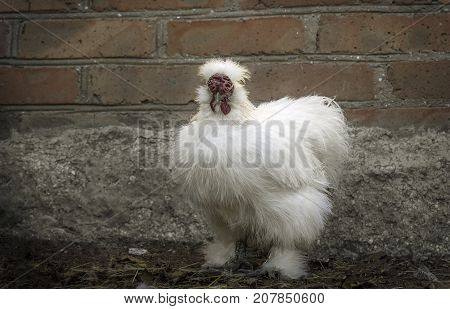 A serious white silkie rooster with plumage, similar to wool or hair, stands on the background of a brick wall. Portrait of a poultry in full growth.