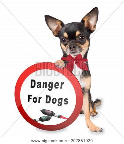 Cute dog chihuahua have forbidden sign board between legs for fireworks rockets