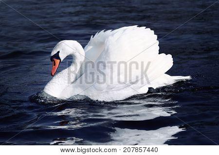 Swan in wild life,  white bird on blue water