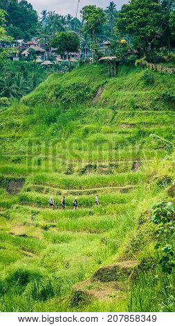 Tourist walking along amazing tegalalang rice terrace cascades fields with beautiful coconut palm trees growing on it, Ubud, Bali, Indonesia.