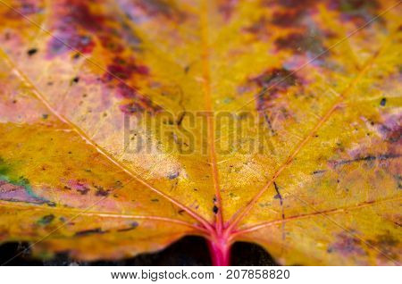 Wet Autumn Leaf. Multi-colored Sheet. Wet Leaf.