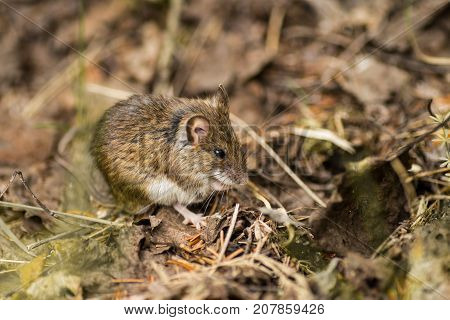 Wild Wood Mouse Resting On The Forest Floor