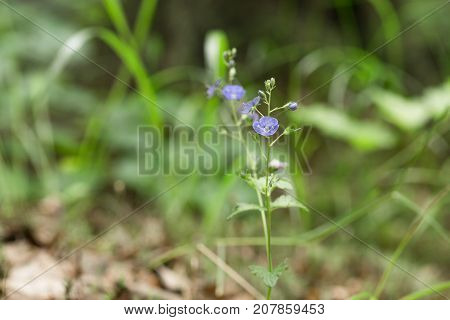 Meadow Plant Background. Blue Little Flowers Forget-me-not Close Up And Green Grass.
