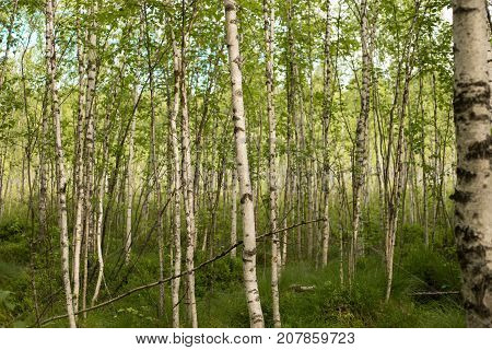 A Birch Is A Thin-leaved Deciduous Hardwood Tree.