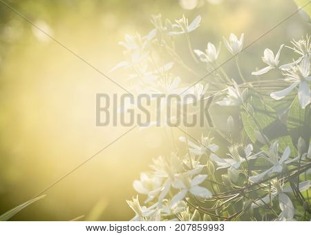 Decorative Bush With White Flowers On Sunset. Clematis. The Background For The Label