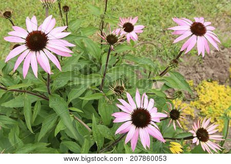 Echinacea, purple coneflowers in garden.  Echinacea flowers used for herbal medicine.