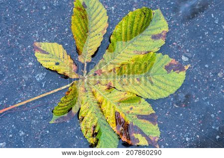 Autumn Chestnut Leaf In A Puddle.