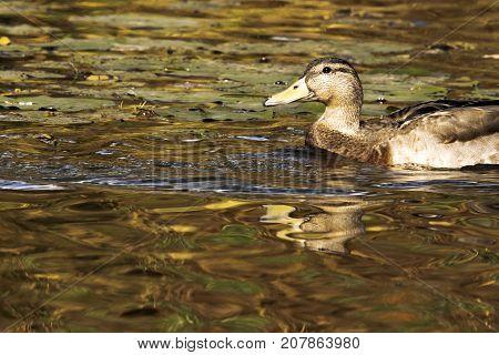 Mallard - Wild Duck - swimming in British park