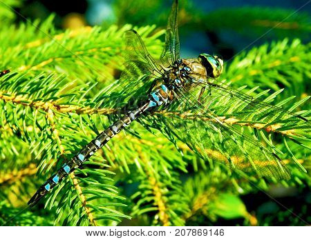 Dragonfly resting on a pine tree branch