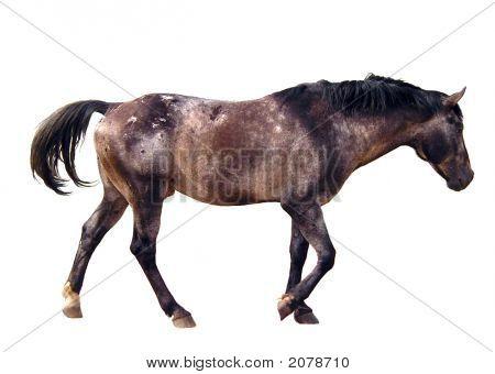 Walking Appaloosa Horse Isolated On White
