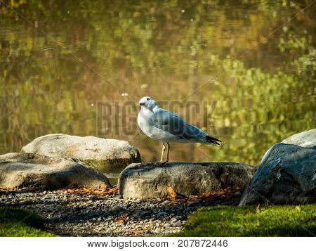 A common mew gull sits beside a pond on a crisp sunny autumn day