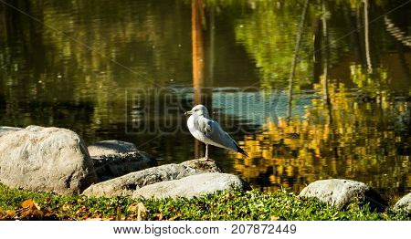 A common mew gull sits beside a pond on a crisp sunny autumn day with fall colors reflecting on the water.