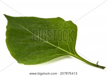 Leaves Of Black Nightshade, Lat. Solanum Nígrum, Poisonous Plant, Isolated On White Background