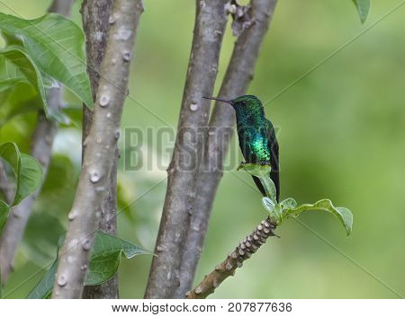 Blue-chinned Sapphire (Chlorestes notata notata) showing iridescent metallic blue and green feathers the rain forest Trinidad