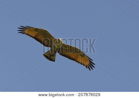 Savanna Hawk (Heterospizias meridionalis) Hunting in the Midday Sun over Bush Bush Island Trinidad