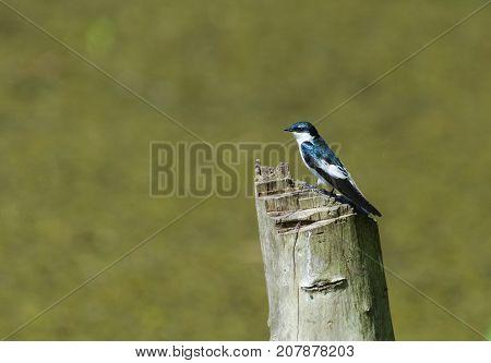 White-winged Swallow (Tachycineta albiventer) on a tree stump in Central Trinidad