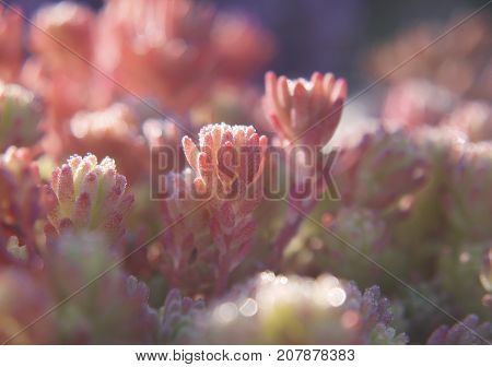 A close-up of a flower-bed of Spanish stonecrop plants, Sedum hispanicum. Strange thick leaves with lots of pink dots are covered with drops of dew and lightened with the morning sun. The plants look like sparkling jewels.