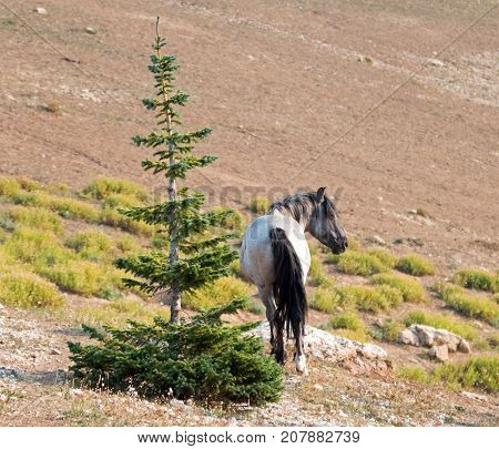 Blue Roan Stallion Wild Horse In The Pryor Mountains Wild Horse Range In Montana United States