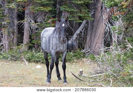 Young Blue Roan Stallion wild horse on Sykes Ridge in the Pryor Mountains wild horse range in Montana United States