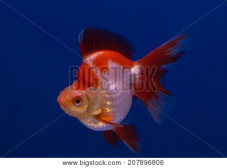 Ryukin goldfish in a blue background tank
