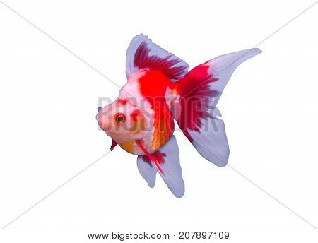 Ryukin goldfish isolated in a white background