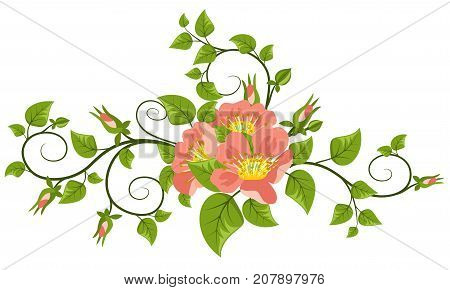 Dogrose flowers with leaves, buds and curls, isolated on white background. Vector illustration