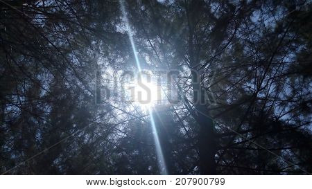 the sun shining from the foliage of pine trees