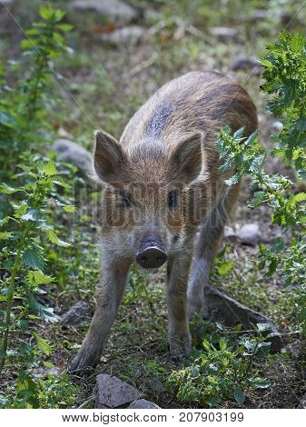 Juvenile wild boar in its natural habitat