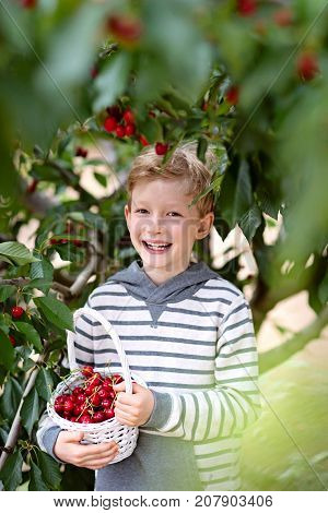 cheerful positive boy with basket full of cherry berries enjoying spring family activity picking berries from the tree during u-pick season at the farm