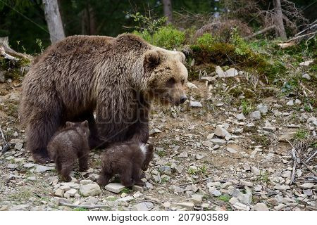 Wild brown bear with two cub in forest