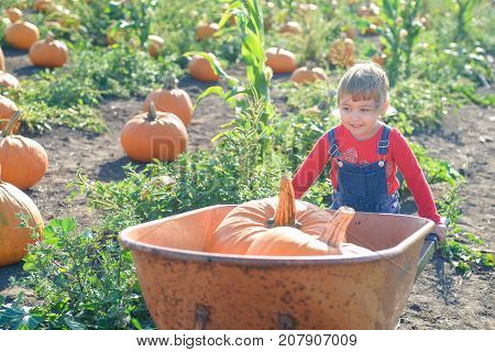 Little girl in jeans overalls rolling wheelbarrow with big pumpkins at the farm field patch