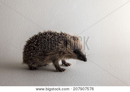 Young wild rescued European hedgehog in studio on white background. Male, weight 300 gram, too small to hibernate through the long norwegian winter. It is fed and kept inside, and will come back to nature in the spring. October. Norway.